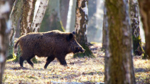 Sanglier en forêt - Photo Philippe Rouzet - Creative Commons.